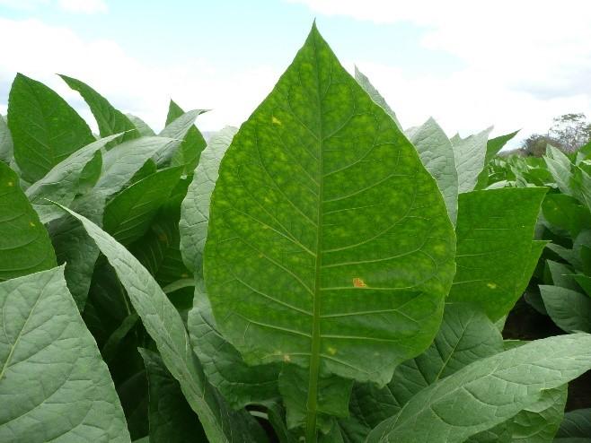 pfeifentabak-pflanze-grundtabake